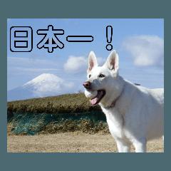 ホワイト シェパード 実写版 No,7