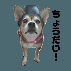 雑種犬あいちゃんのスタンプ 2